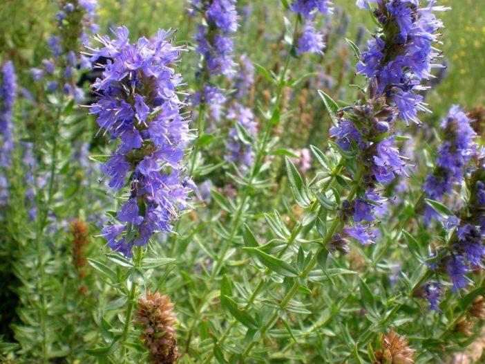 Flores Hyssopus officinalis