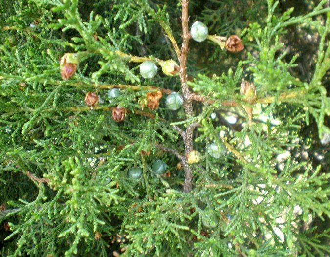 Frutos Juniperus thurifera L.