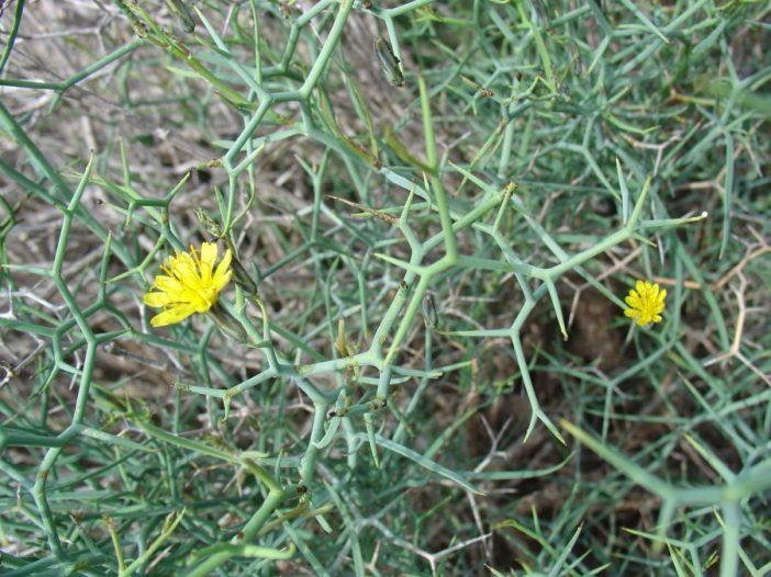 Espinas Launaea arborescens Murb.