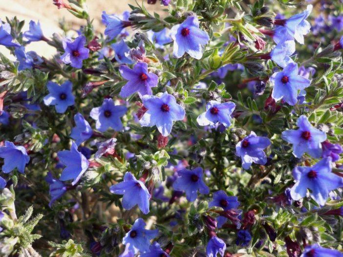 Floración Lithodora fruticosa Griseb.
