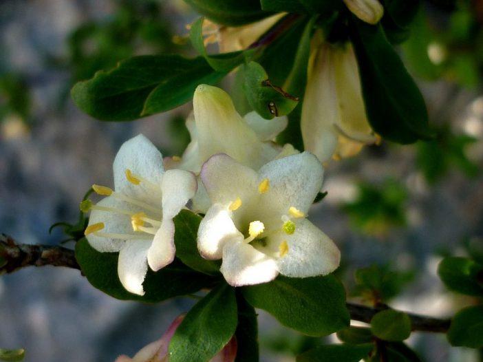 Flores Lonicera pyrenaica L.