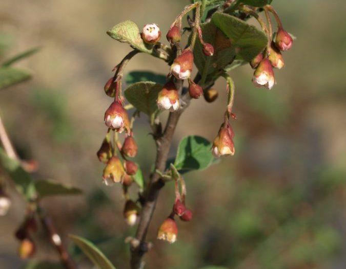 Comienzo de la floración Cotoneaster integerrimus