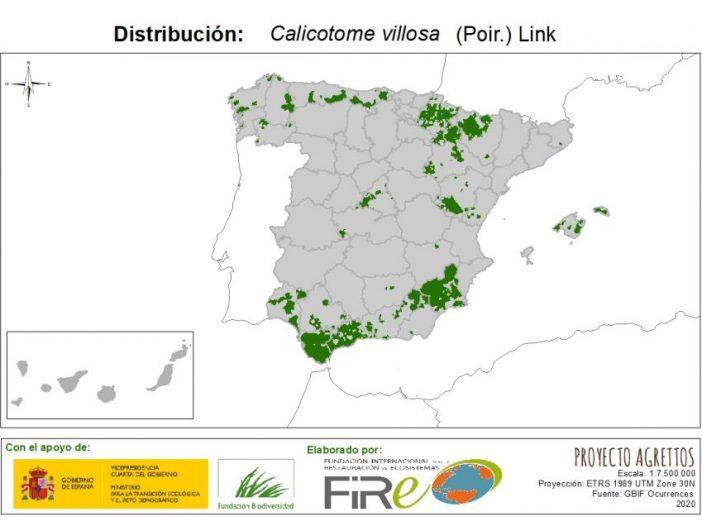 Calicotome villosa (Poir.) Link
