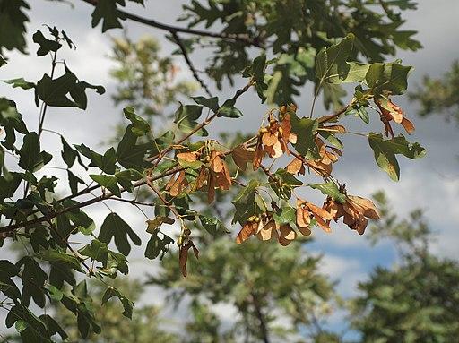Acer monspessulamum