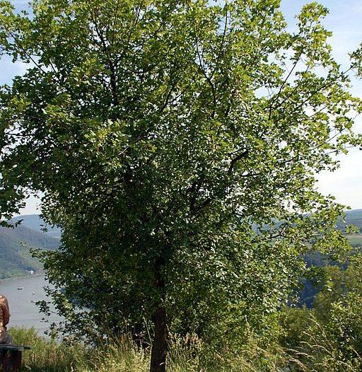 Acer monspessulamum L.