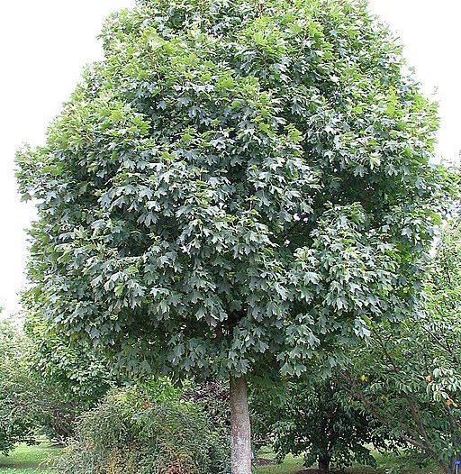 Acer plataniodes L.