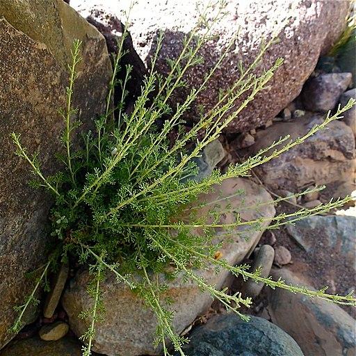 Artemisia herba-alba Asso