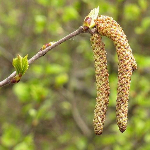 Betula pubescens Ehrh. flor