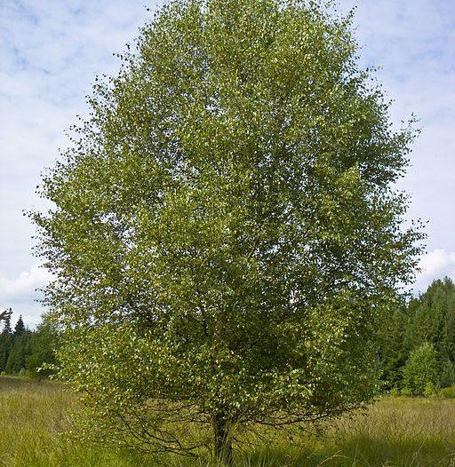 Betula pubescens Ehrh,