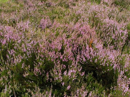 Calluna vulgaris (L.) Hull.