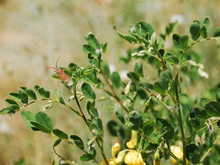 Flor y polinizador de Colutea brevialata Large