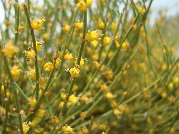 Floración Calendario Ephedra major Host