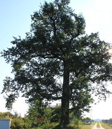 Porte Quercus robur L.