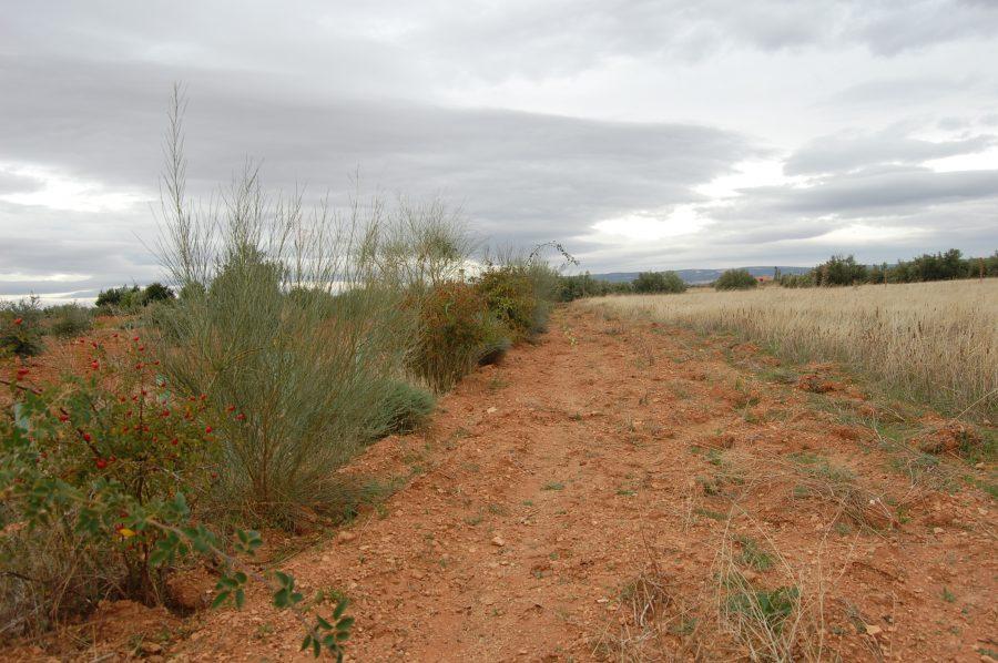 Seto entre cultivos de olivar y cereal